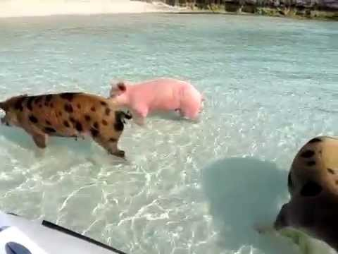 Swimming Pigs @ Staniel Cay Bahamas