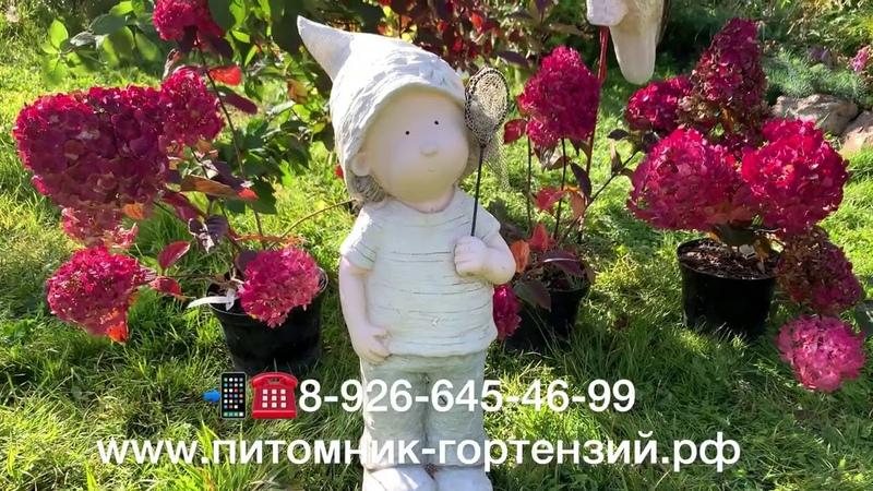 🏆Самарская гортензия Лидия Hydrangea paniculata Samarskya Lydia сорт номер 1 в Мире в 2020г✅