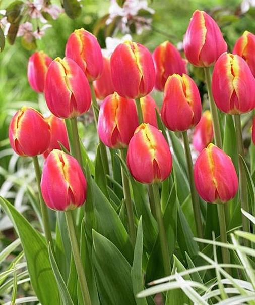 Тюльпан Роял ван дер Марк Сложно поверить, что за роскошной внешностью тюльпана Роял ван дер Марк скрывается простоватый и неприхотливый характер. Сорт прекрасно себя чувствует на влажных