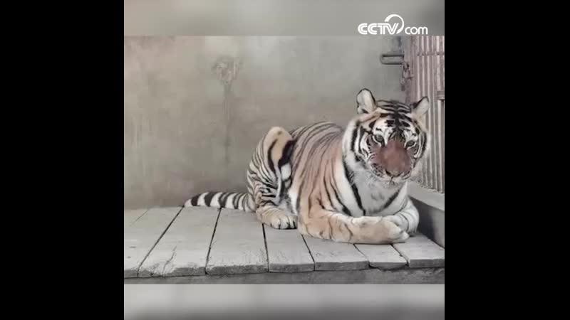 Как подстричь когти тигру
