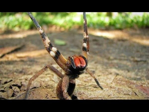 Самый ядовитый паук Бразильский странствующий паук Самый ядовитый паук в мире