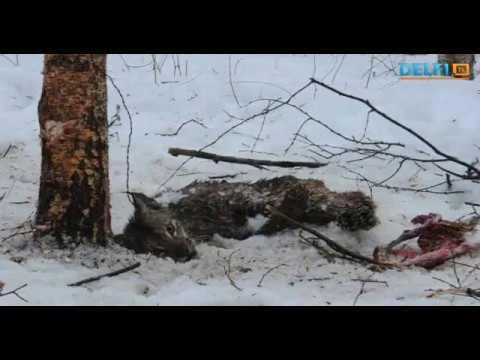Спасение рыси попавшей в капкан Откажитесь от меха животных