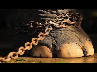 50 лет слон сидел на цепи. Только посмотрите, что он сделал, когда его освободили!