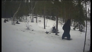Танцующий мишка в Мурманской области попал на видео