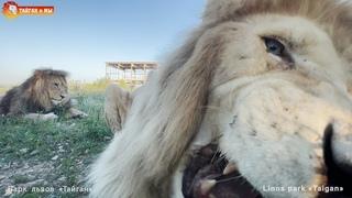 Взял и психанул 😁 Львы. Тайган. Lions life in Taigan.