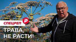 Борщевик: как «сорняк-убийца» заполонил всю Россию? / Редакция спецреп