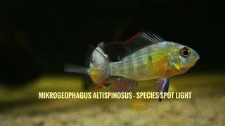 Bolivian ram - Mikrogeophagus altispinosus