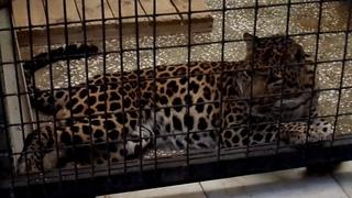 Африканские леопарды Амир и Ника крупным планом. А также сурикаты