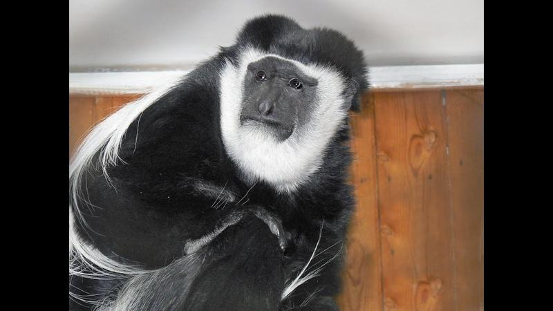 Показательное кормление колобуса Чарли в Екатеринбургском зоопарке