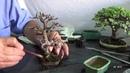 Portulacaria Afra Mame bonsái Moyogi Poda defoliado trasplante y brotación JG 2015