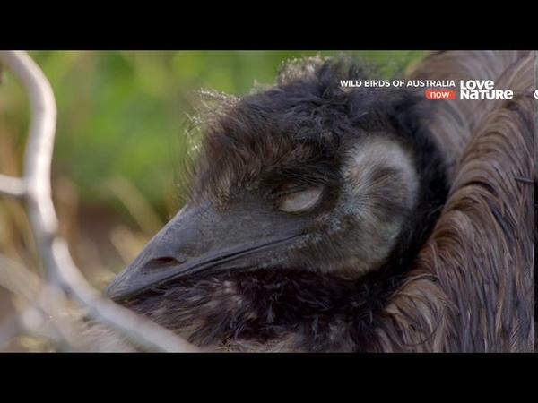 Дикие птицы Австралии Тайная жизнь Эму Документальный фильм в Ultra HD 4K