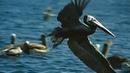 Морские птицы острова Изабелла. 1976. ( Одиссея Жака Кусто ).