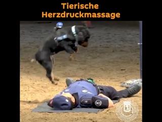 Dieser hund macht eine externe herzdruckmassage!