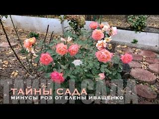 Розы ЕЛЕНЫ ИВАЩЕНКО. Обзор, сорта, минусы и недостатки.
