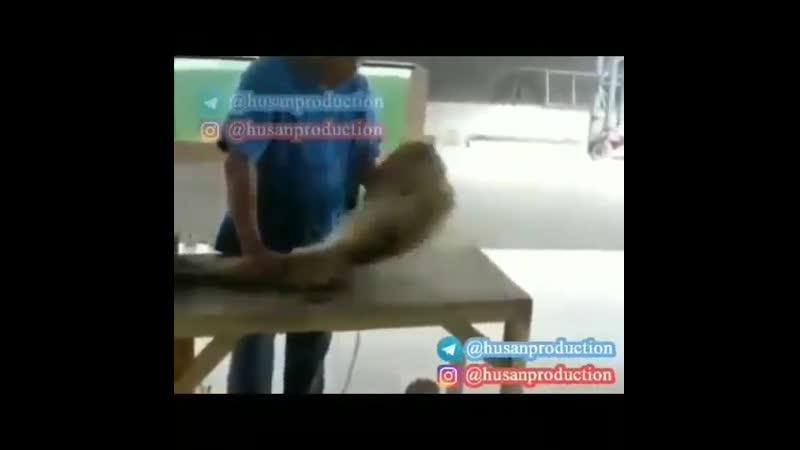 Maymun prikol