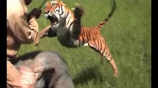 Анатомия крупнейших животных. Большие кошки.Документальный фильм National  Cats Inside