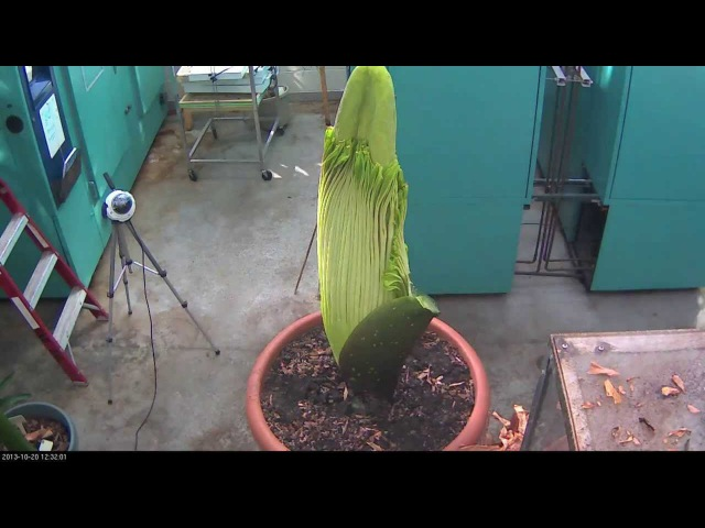 Perry the Corpse Flower Full Bloom Cycle 2013