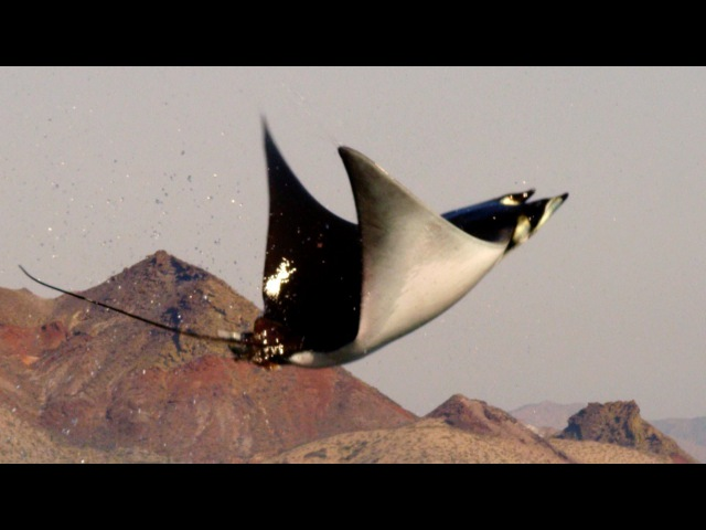 Mobula Rays belly flop to attract a mate Shark Episode 2 Preview BBC One
