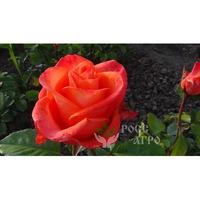Роза чайно гибридная Деметра