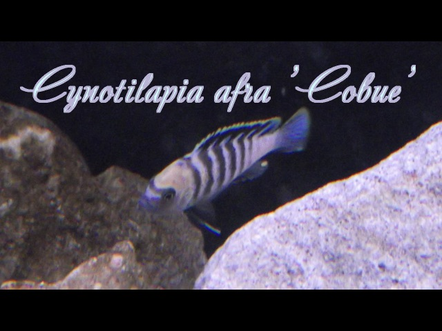 Cynotilapia afra Cobue