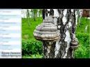 Что такое чага Березовый гриб. Чага. Онкопротектор чага. Артлайф.