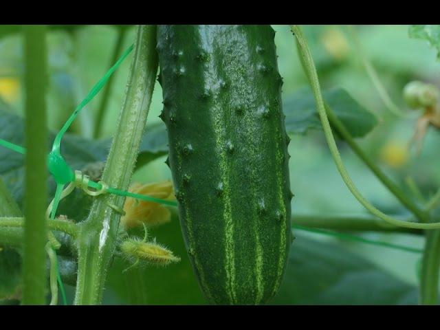Выращивание огурцов Моя плантация все секретыот А до Я