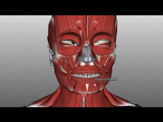 Muscles of facial expression anatomy tutorial part 2. анатомия.