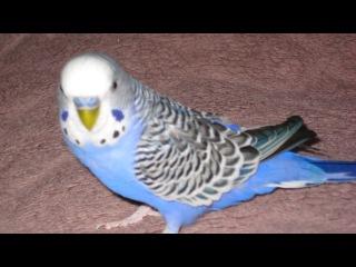Говорящий попугай Кеша (лучшее) Очень умному и очень любимому попугайчику посвя ...