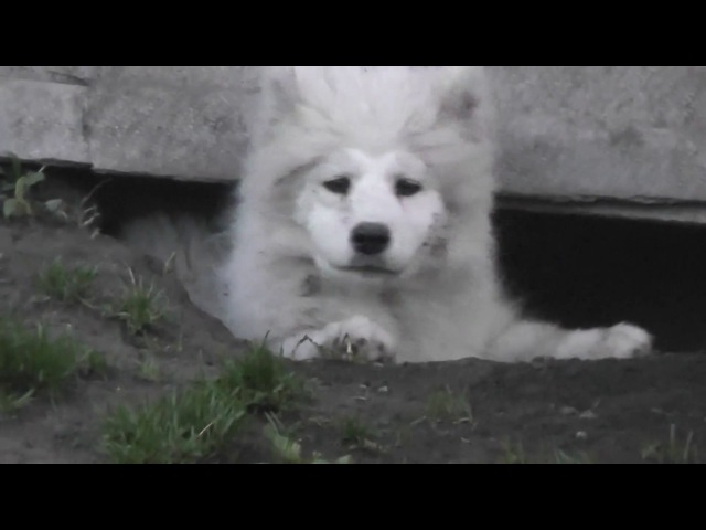 Белый Волк Гермиона Грейнджер в ямке