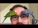 Смотреть самые смешные поющие попугаи! видео 2017 3 видео приколы