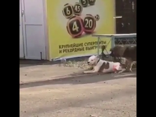 В Новороссийске бездомная собака отвязала от забора домашнего пса, привязанного поводком.