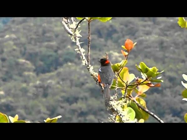 Scarlet-bellied mountain tanager Краснобрюхая горная танагра Anisognathus igniventris