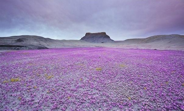 Цветущая пустыня Калифорнии Такое редкое природное явление происходит раз в 5-7 лет.Фото: Guy Tal