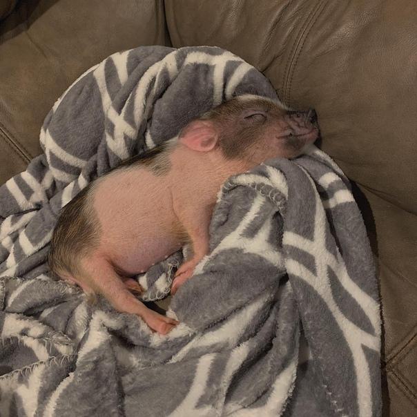 фото мини пиг спящих музей