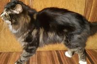 Яков Бобкет-Орел,  кот чистокровный курильский бобтейл, черный мрамор с белам, приходит на имя
