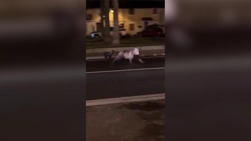 Abruzzo, mamma orsa e il suo cucciolo per le strade di Pescasseroli