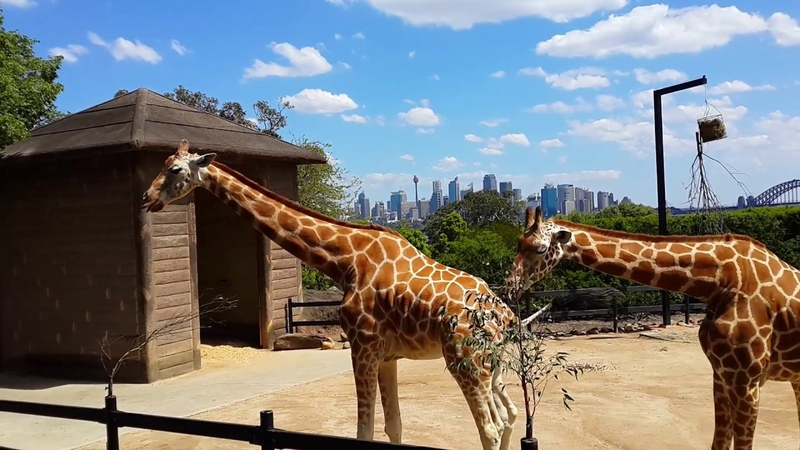 Красивые жирафы в зоопарке Таронга Австралия The most beautiful giraffes of Taronga Zoo Australia
