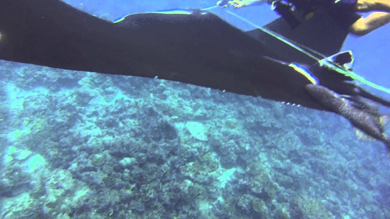 GIANT MANTA RAY ENTANGLED BEING FREED by DM Marvin and Panga 1 - Manta Ray Rescue