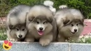 Baby Alaskan Malamute Puppies Running😍Funny And Cute Puppies Compilation