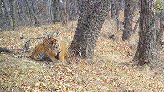 Проделки тигрят-тройняшек засняли на Земле леопарда