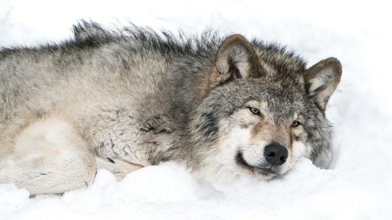 Охотник прицелился и сделал выстрел волчица упала Подойдя к добыче охотник оторопел