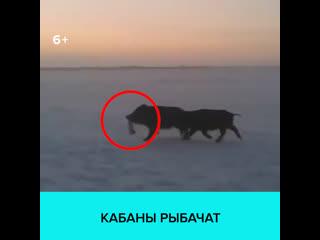 Дикие кабаны ограбили рыбаков в Ленинградской области  Москва 24
