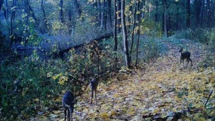 Семейство косуль попалось в фотоловушку на территории Липецкой области — Изображение 2