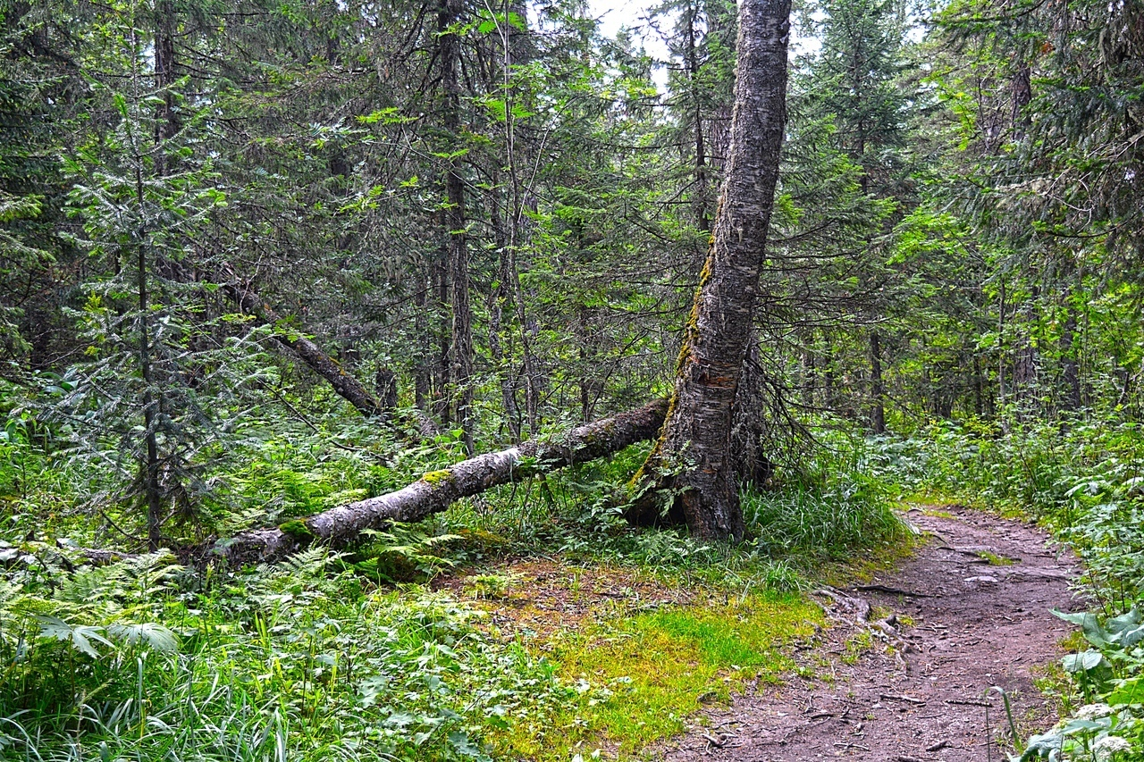 С виду - такой же лес, как и у нас на Нижегородчине. Такой — да не такой. Чисто еловых лесов у нас поискать, разве только на северной стороне Волги.