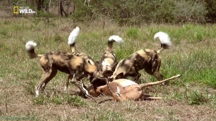 Бойцовский клуб для животных 3 сезон 2 серия Гиганты в ярости
