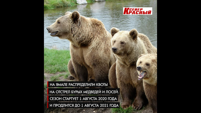 На Ямале распределили квоты на отстрел бурых медведей и лосей