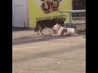 Бездомная собака отвязала от забора домашнего пса, привязанного поводком