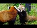 ココとじゃれる赤ちゃんレッサーパンダ~Red Panda Baby plays with mama