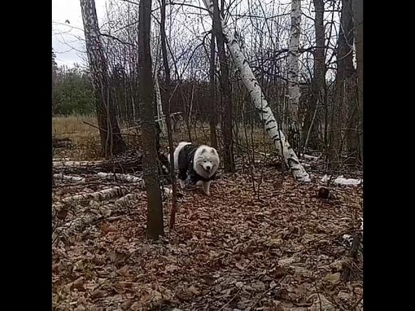 Белый волк в лесу)