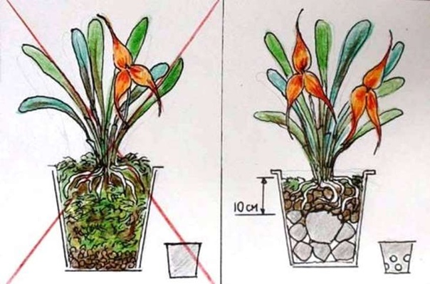 Орхидея Каттлея, изображение №4